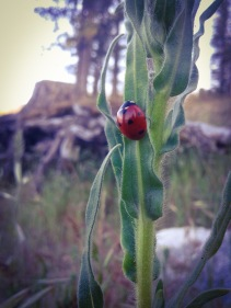 Bass Lake Lady Bug