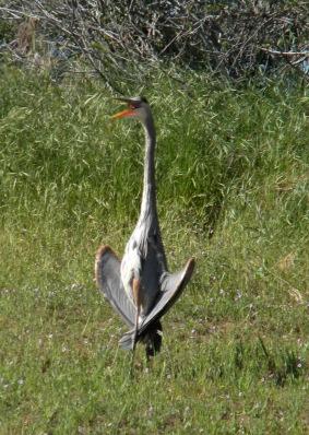 heron open mouh
